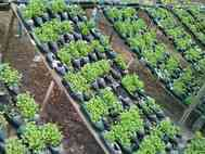 Agricultor arapiraquense utiliza garrafas pet para cultivar hortaliças